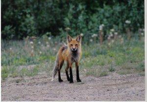 a mangy fox