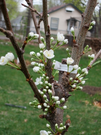 My first plum blossoms! Superior.